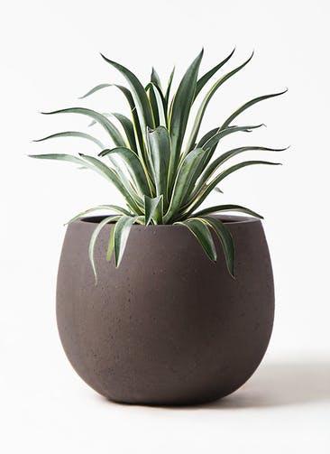 観葉植物 アガベ 7号 ベネズエラ テラニアス ローバルーン アンティークブラウン 付き