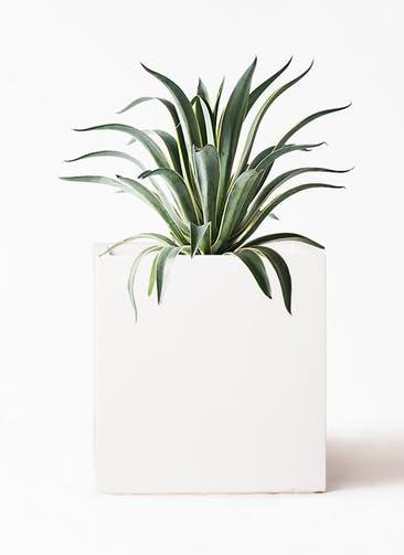 観葉植物 アガベ 7号 ベネズエラ バスク キューブ 付き
