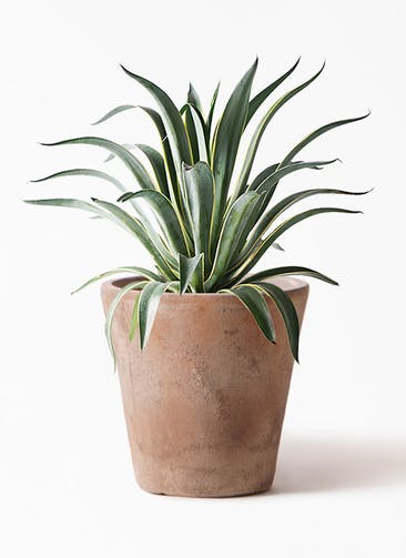観葉植物 アガベ 7号 ベネズエラ ルーガ アンティコ ソリッド 付き
