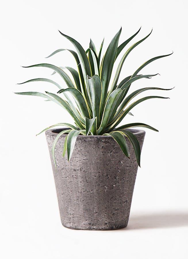 観葉植物 アガベ 7号 ベネズエラ フォリオソリッド ブラックウォッシュ 付き