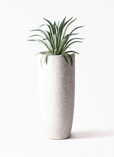 観葉植物 アガベ 7号 ベネズエラ エコストーントールタイプ white 付き