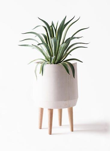 観葉植物 アガベ 7号 ベネズエラ ファイバークレイ white 付き