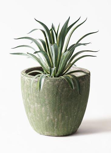 観葉植物 アガベ 7号 ベネズエラ アビスソニアミドル 緑 付き