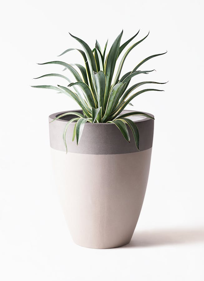 観葉植物 アガベ 7号 ベネズエラ ファイバーストーンカプリ サンディホワイト 付き