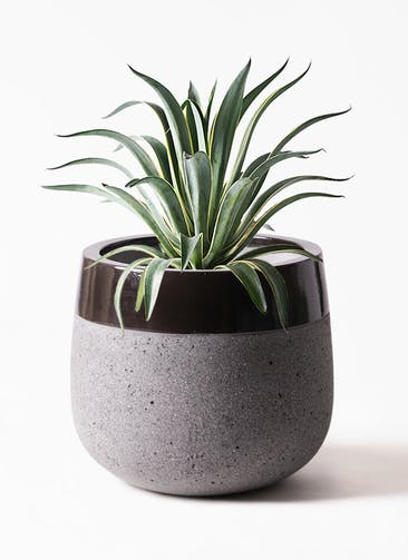 観葉植物 アガベ 7号 ベネズエラ ファイバーストーンタウルス 黒 付き