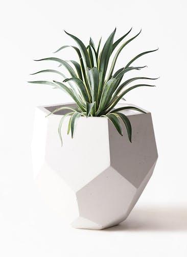 観葉植物 アガベ 7号 ベネズエラ ポリゴヘクサ 白 付き