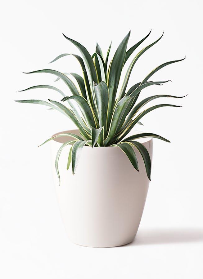 観葉植物 アガベ 7号 ベネズエラ ラスターポット 付き