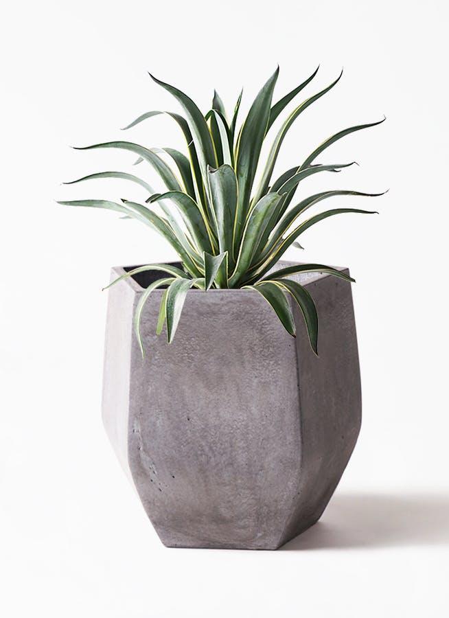 観葉植物 アガベ 7号 ベネズエラ ファイバークレイ Gray 付き
