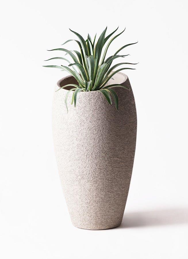 観葉植物 アガベ 7号 ベネズエラ エコストーントールタイプ Light Gray 付き