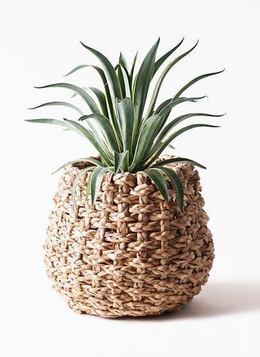 観葉植物 アガベ 7号 ベネズエラ ラッシュバスケット Natural 付き