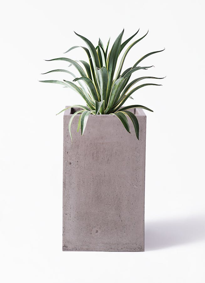 観葉植物 アガベ 7号 ベネズエラ セドナロング グレイ 付き