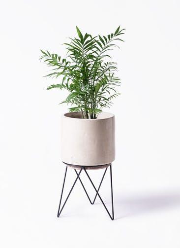 観葉植物 テーブルヤシ 7号 ビトロ エンデカ クリーム アイアンポットスタンド ブラック 付き
