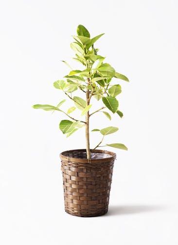 観葉植物 フィカス アルテシーマ 7号 ストレート 竹バスケット 付き