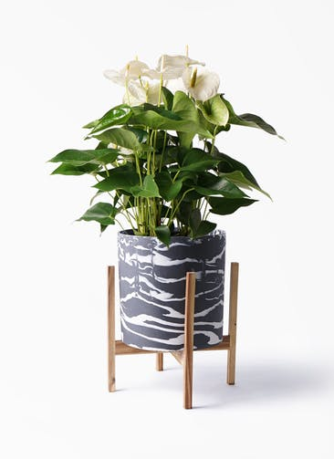 観葉植物 アンスリウム 8号 スミ ホルスト シリンダー マーブル ウッドポットスタンド付き