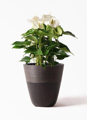 観葉植物 アンスリウム 8号 スミ ジュピター 黒 付き