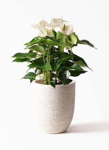 観葉植物 アンスリウム 8号 スミ ビアスアルトエッグ 白 付き