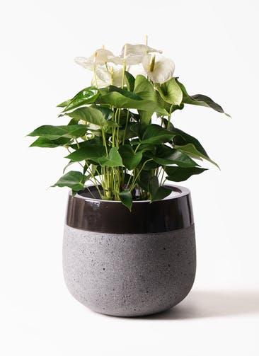 観葉植物 アンスリウム 8号 スミ ファイバーストーンタウルス 黒 付き