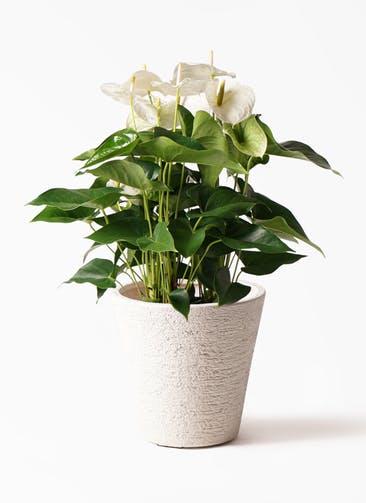 観葉植物 アンスリウム 8号 スミ ビアスソリッド 白 付き
