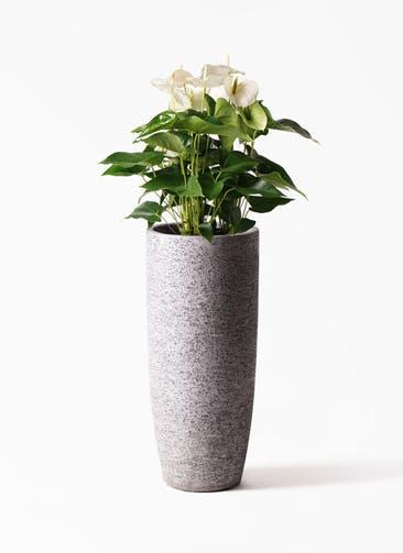 観葉植物 アンスリウム 8号 スミ エコストーントールタイプ Gray 付き