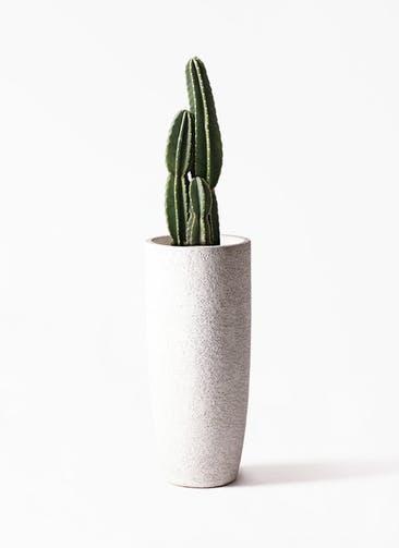 観葉植物 柱サボテン 8号 エコストーントールタイプ white 付き