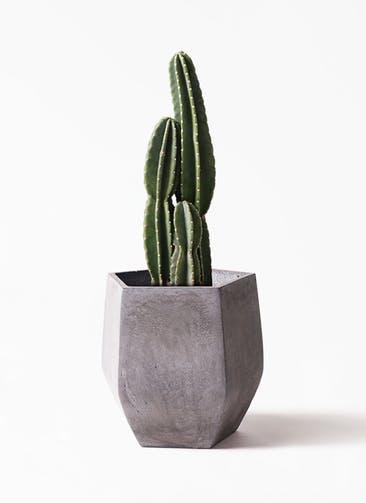 観葉植物 柱サボテン 8号 ファイバークレイ Gray 付き