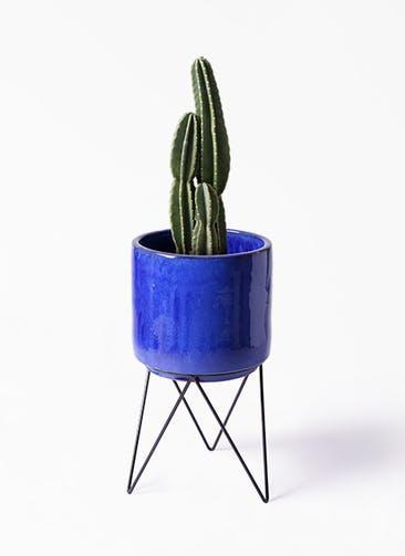 観葉植物 柱サボテン 8号 ビトロ エンデカ ブルー アイアンポットスタンド ブラック 付き