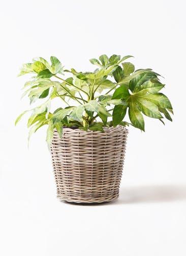 観葉植物 ヤツデ 7号 モンデリック ラタン 付き