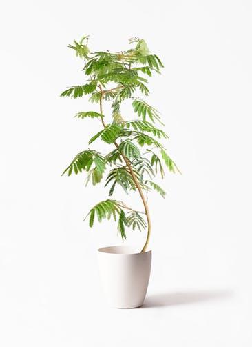 観葉植物 エバーフレッシュ 10号 曲り ラスターポット 付き