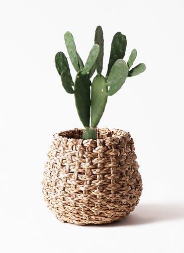 観葉植物 ウチワサボテン 8号 ラッシュバスケット Natural 付き