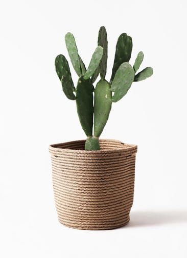 観葉植物 ウチワサボテン 8号 リブバスケットNatural 付き