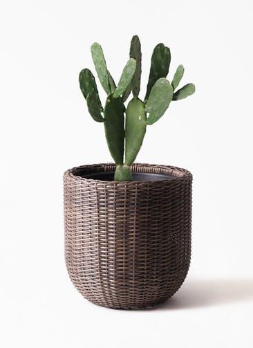 観葉植物 ウチワサボテン 8号 ウィッカーポットエッグ 茶 付き