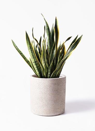 観葉植物 サンスベリア 10号 トラノオ サンディ シリンダー 白 付き