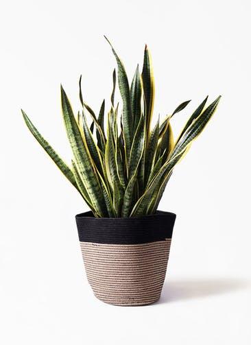 観葉植物 サンスベリア 10号 トラノオ リブバスケットNatural and Black 付き