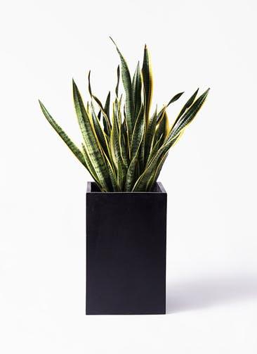 観葉植物 サンスベリア 10号 トラノオ セドナロング 墨 付き