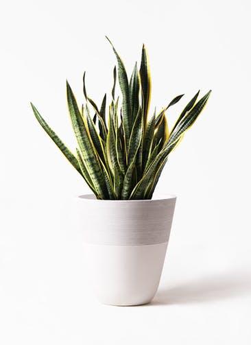 観葉植物 サンスベリア 10号 トラノオ ジュピター 白 付き