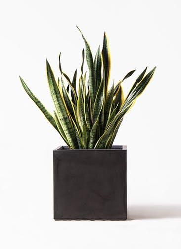 観葉植物 サンスベリア 10号 トラノオ ファイバークレイ キューブ 付き