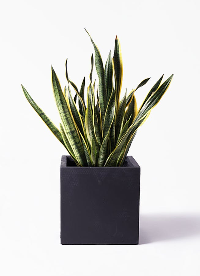 観葉植物 サンスベリア 10号 トラノオ ベータ キューブプランター 黒 付き