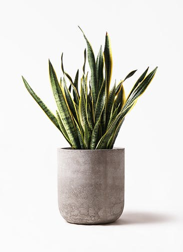 観葉植物 サンスベリア 10号 トラノオ エルバ 白 付き