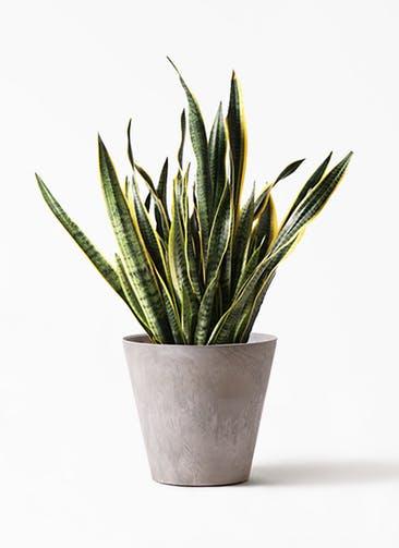 観葉植物 サンスベリア 10号 トラノオ アートストーン ラウンド グレー 付き