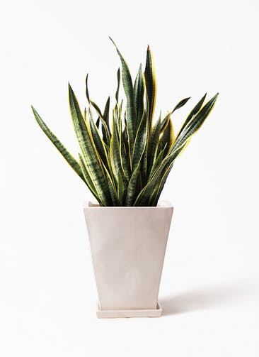 観葉植物 サンスベリア 10号 トラノオ スクエアハット 白 付き