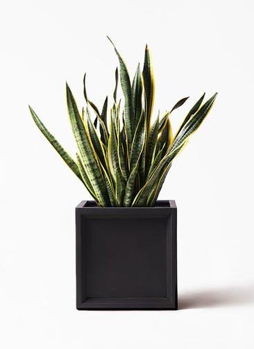 観葉植物 サンスベリア 10号 トラノオ ブリティッシュキューブ 付き