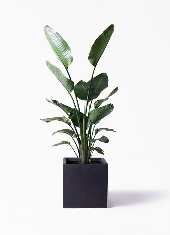 観葉植物 オーガスタ 10号 ベータ キューブプランター 黒 付き