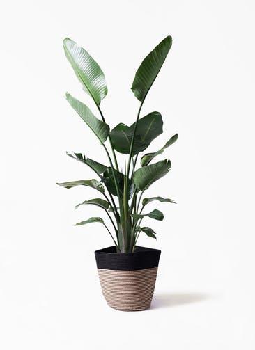 観葉植物 オーガスタ 10号 リブバスケットNatural and Black 付き