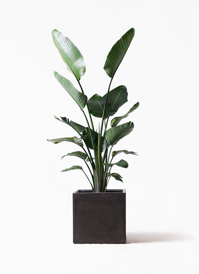 観葉植物 オーガスタ 10号 ファイバークレイ キューブ 付き