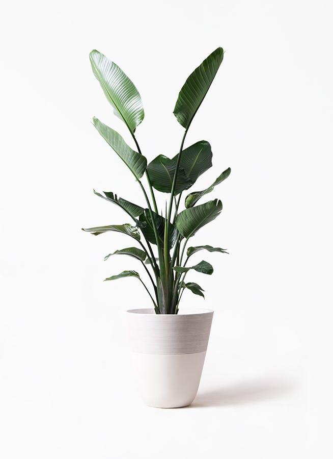 観葉植物 オーガスタ 10号 ジュピター 白