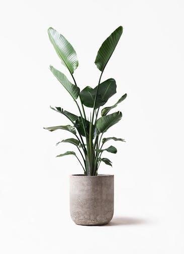 観葉植物 オーガスタ 10号 エルバ 白
