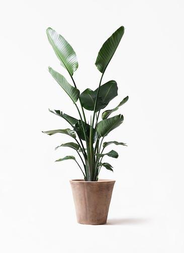 観葉植物 オーガスタ 10号 ルーガ アンティコ ソリッド
