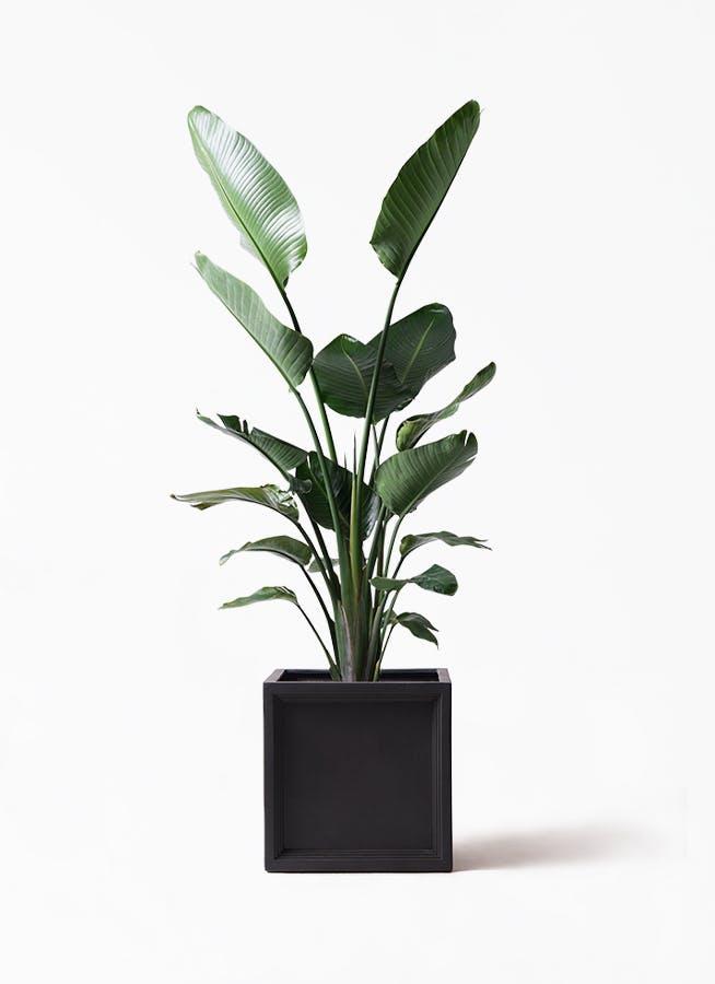 観葉植物 オーガスタ 10号 ブリティッシュキューブ