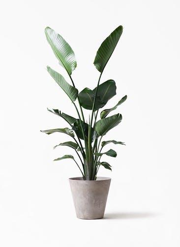 観葉植物 オーガスタ 10号 アートストーン ラウンド グレー