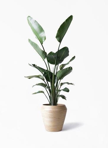 観葉植物 オーガスタ 10号 アルマ ミドル 付き